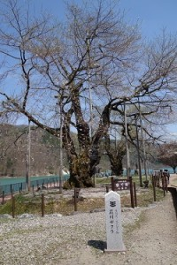 150505荘川桜1